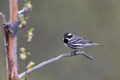 Black-throated Grey Warbler | svartstrimmig skogssångare | Setophaga nigrescens