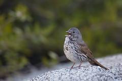 Large-billed Fox Sparrow | tjocknäbbad rävsparv  | Passerella megarhyncha