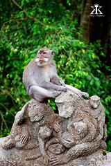 Bali 2015, Monkey Forest, monkey see monkey do WM
