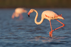 Greater Flamingo | större flamingo | Phoenicopterus roseus