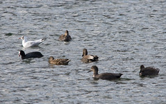 Gadwall with coot and black-headed gull