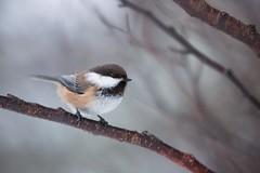 Grey-headed Chickadee | lappmes | Poecile cinctus