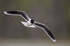 Little Gull | dvärgmås | Hydrocoloeus minutus