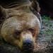 Björnblick
