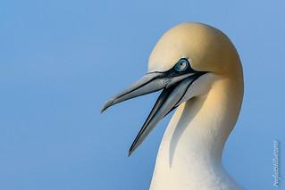 Gannet Yawning