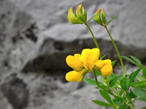 Wildflowers /  Vadvirágok