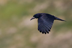 Rook | råka | Corvus frugilegus