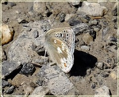 Glandon Blue (Agriades glandon) - Mountain butterfly at 2800 metres! French Pyrenees.