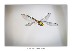 Dragonfly frozen in motion [Explored]