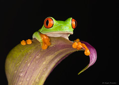 w-red-eyed-tree-frog-1