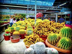 Cactus Point Brinchang, 39000 Brinchang, Pahang 011-1782 9384 https://goo.gl/maps/2r8ZPgy3vu22  #仙人掌 #金马仑 #CameronHighland #cactus #Kaktus #кактус  #صبار  #선인장 #サボテン #travel #holiday #traveling #trip #Asian #Malaysia #旅行 #度假 #亞洲 #馬來西亞 #วันหยุด #การเดินทาง