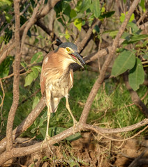 Night Heron in the Mary River Wetlands
