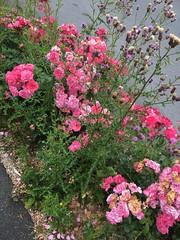 Les rosiers herbeux de la rue Alexandre Dumas