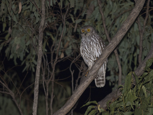 """Barking owl - Ninox connivens - Homevale NP, QLD • <a style=""""font-size:0.8em;"""" href=""""http://www.flickr.com/photos/95790921@N07/41983534500/"""" target=""""_blank"""">View on Flickr</a>"""
