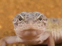 w-lepoard-gecko-3