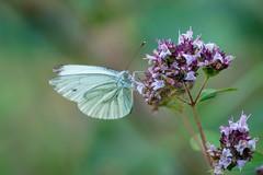 cabbage butterfly / Kleiner Kohlweißling [Pieris rapae]