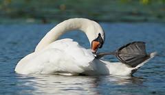 Swan Ballet....