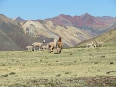 Super Berglandschaft mit Lamaherde nach dem Pass Abra Sungrar