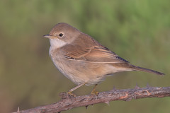 Whitethroat / Sterpazzola