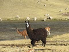 Lama im Vordergrund, hinten Vicuñas und Alpakas