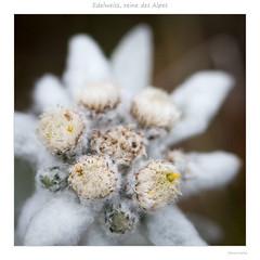 La reine des Alpes - Edelweiss