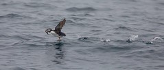 Atlantic Puffin taking off with his lunch!!!!!