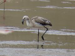 Junger Flamingo