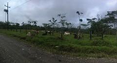 Kühe im Regenwald auf dem Weg von Atalaya nach Salvacion