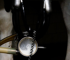 Milk can be seen flowing during the milking process.
