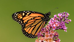 Migrating Male Monarch