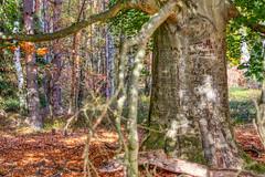 old buckwheat tree