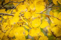 Aspen foliage
