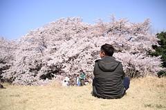 Sakura in Japan Tokyo - so relax #Sakura  #tokyo #pink #april #sky #國營昭和紀念公園 #昭和
