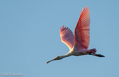 Sony ILCE-A9, Spoonbill , 6113, 1-2500, f-7.1, ISO 1250, 400mm_