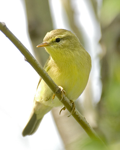 Willow Warbler by Sergey Yeliseev, on Flickr