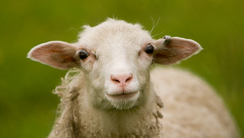 Best Lamb Ever