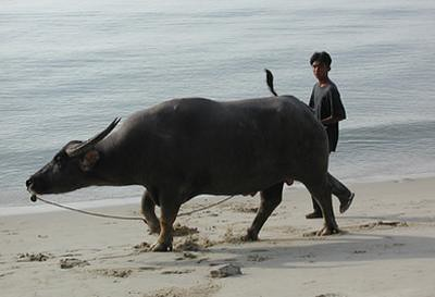 03-12 walking the water buffalo