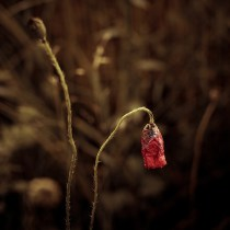 Dying flower #2