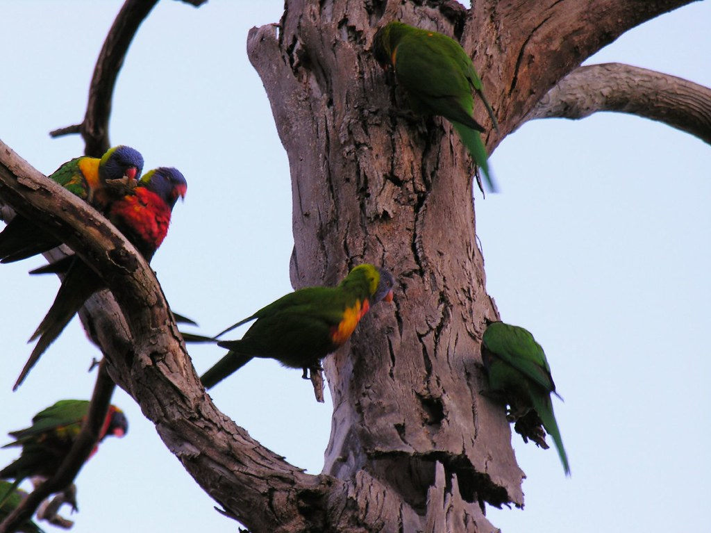 Parrots, eating the tree