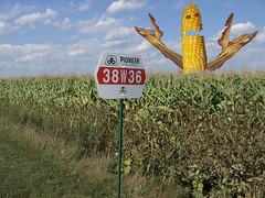 Attack of the Killer GMO corn!