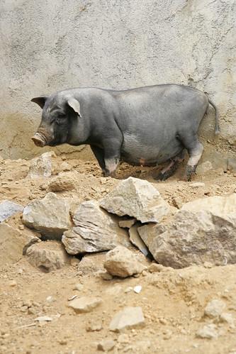 A native black pig of Viet Nam
