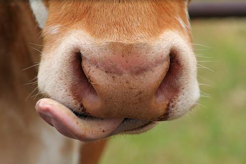 Rude Cow!