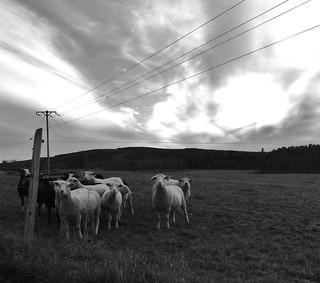 Think sheep