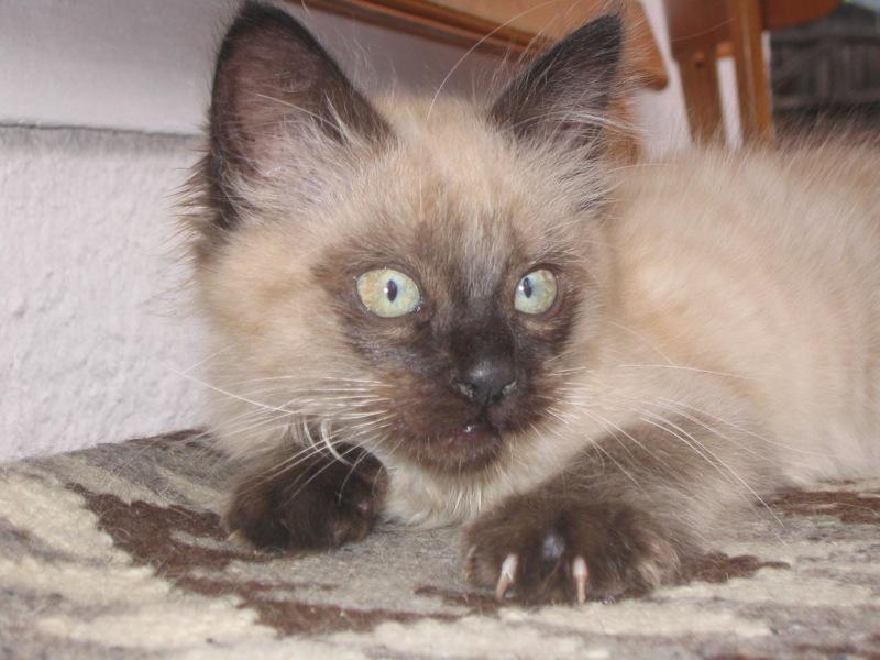 Romanian Cat