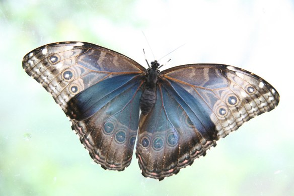 Butterflies of Costa Rica - David Dodge