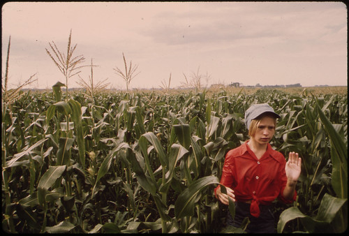 Teenage Worker Detasseling Corn in a Field During the Summer near New Ulm, Minnesota...