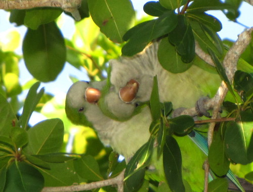Wild Quaker Parrots in South Florida