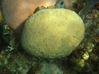 """Coral """"cerebro"""", posiblemente del género Diplora (?)"""