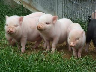 Three Cute Little Piglets