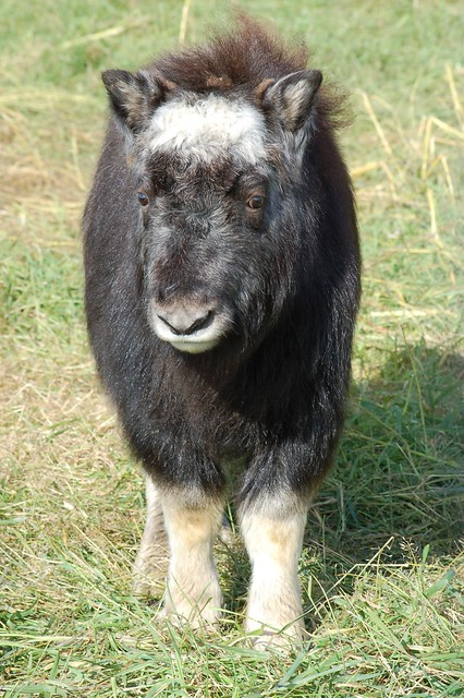 Baby Musk Ox Flickr Photo Sharing